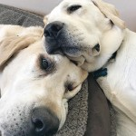 A heartbreaking goodbye for our old Yellow Lab Jack